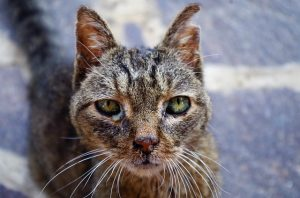feral cat with a bite wound on its ear