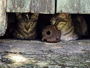 outdoor cats hiding under a shed